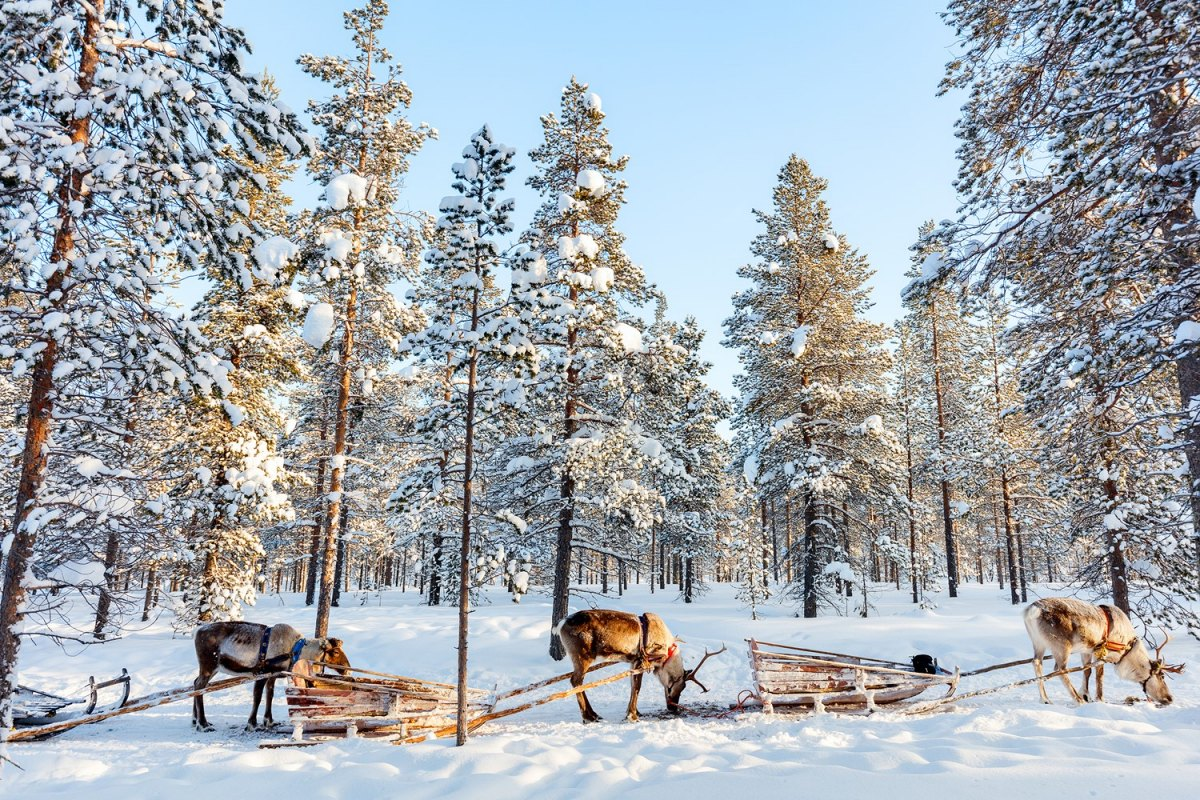 Finland-Reindeer in a winter forest