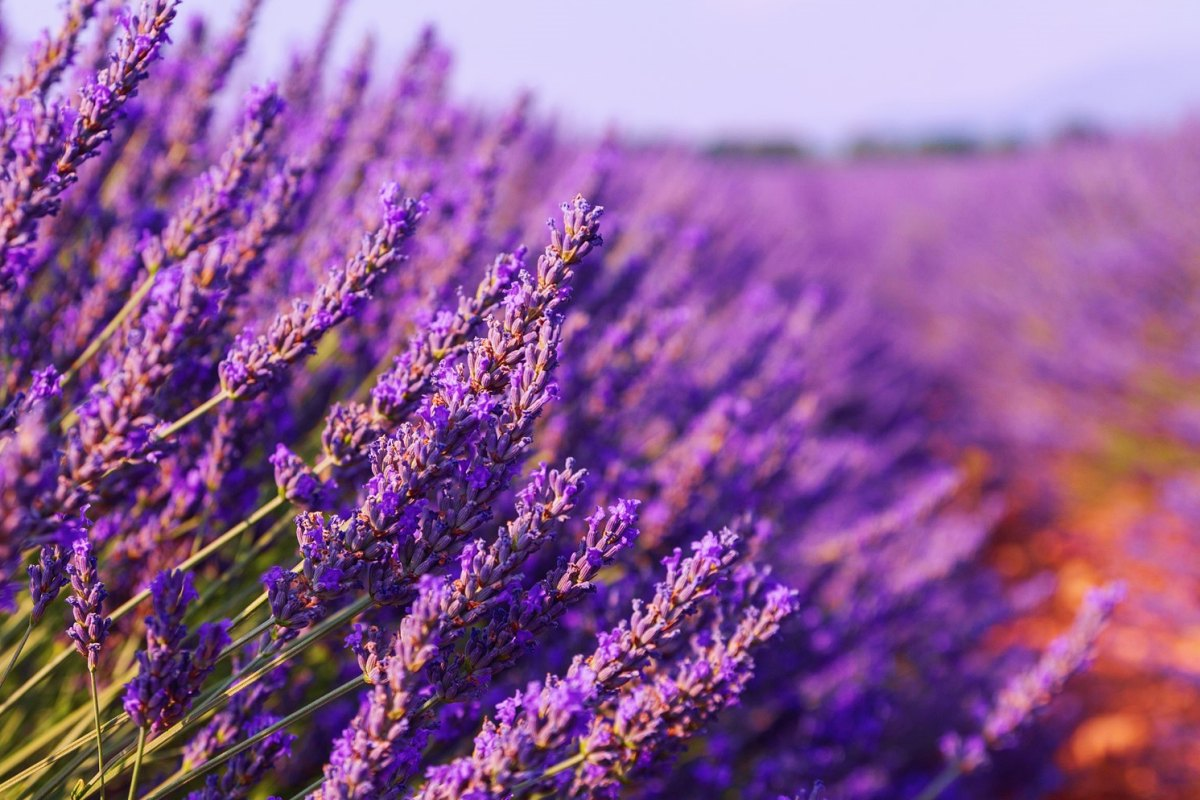 France-Beautiful colors purple lavender fields near Valensole, Provence