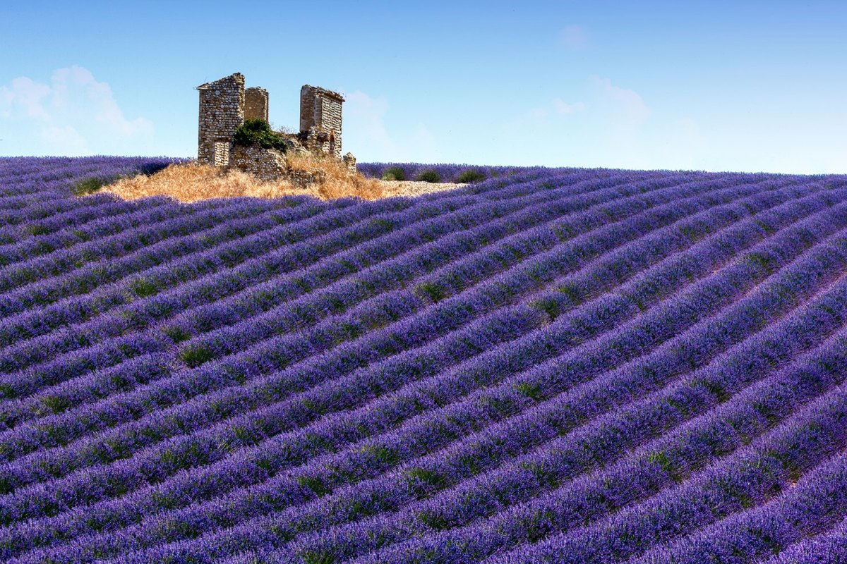 France-lavender fields in Provence