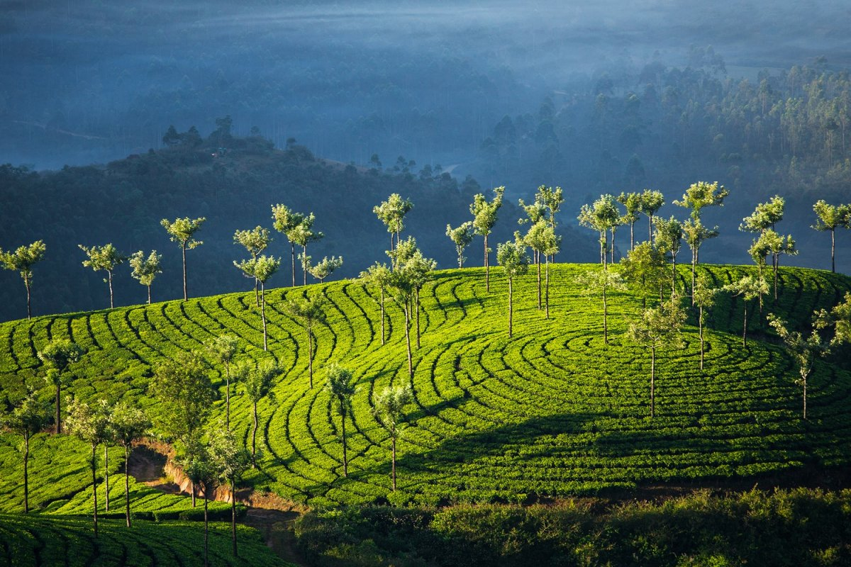 India-Tea plantations in Munnar